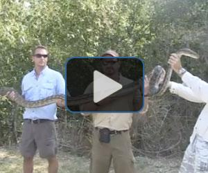 Watch: Nagini the 15-ft python captured