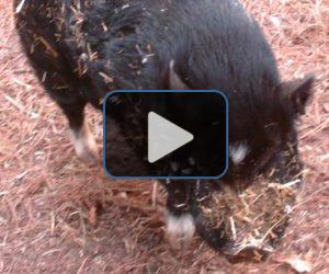 VIDEO: Pig mistakenly killed